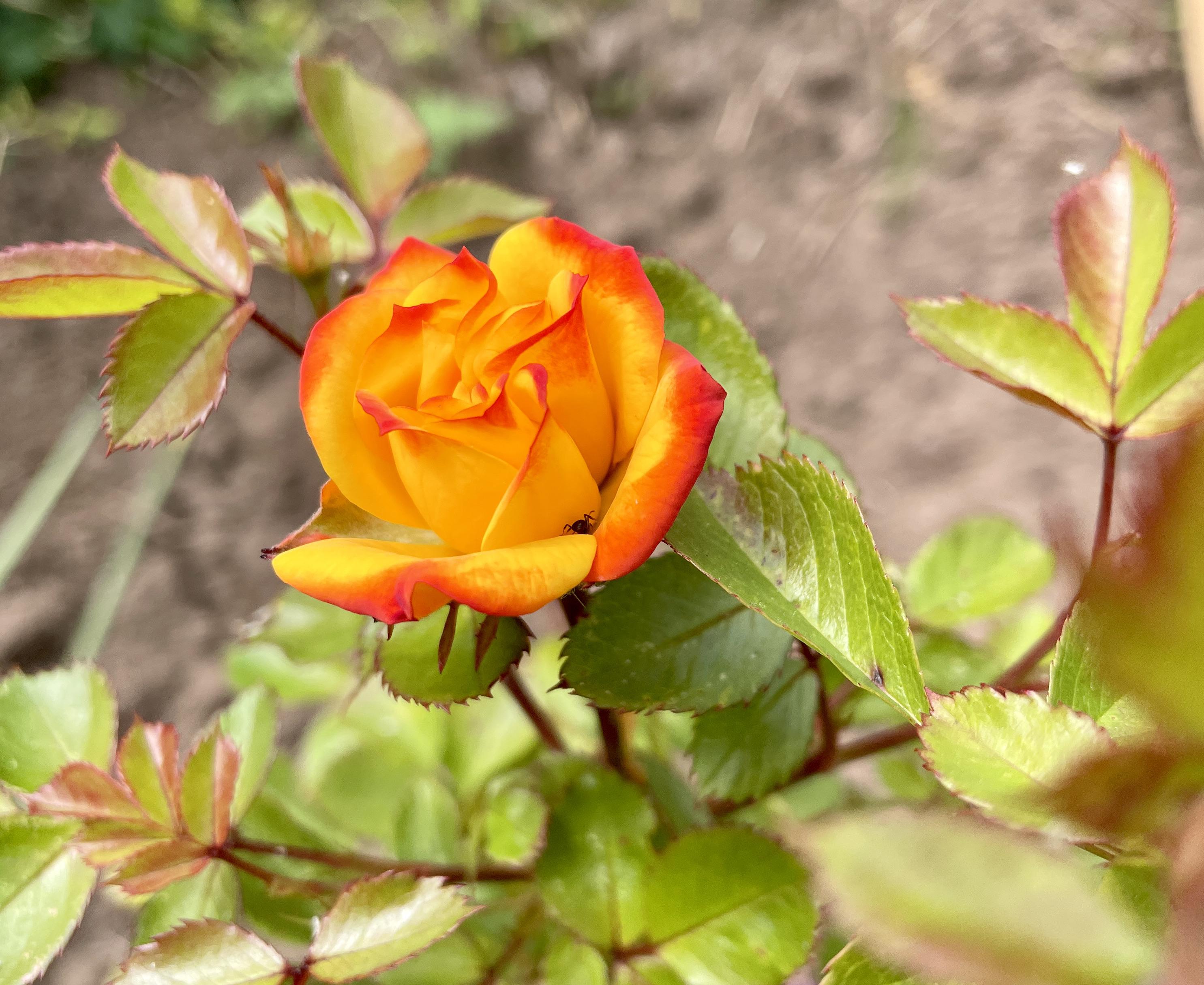 Rosa, 'Irish Eyes'